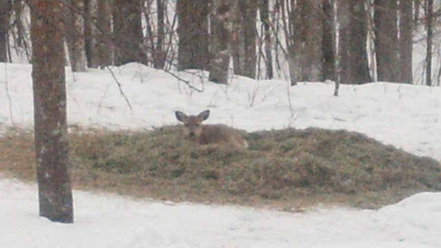 bedded deer