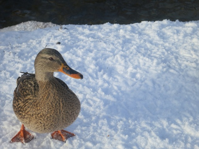 female mallard standing on snow