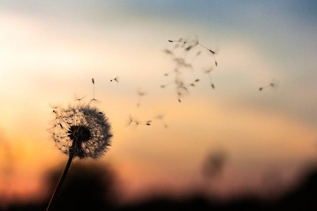 dandelion pouf blowing onto the wind