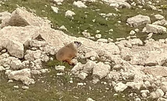 Picture of a marmot in the rocks taken by the author