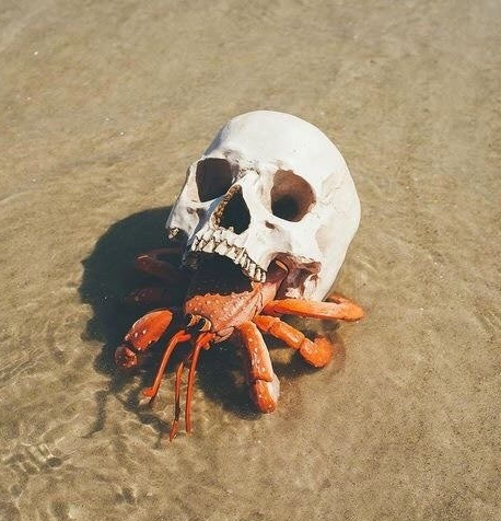 hermit crab using a skull for a house, on