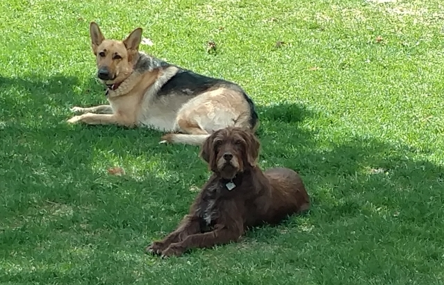 The author's German Shepherd, Riley, and her parents' Pudelpointer, Maty, lounging in the grass.
