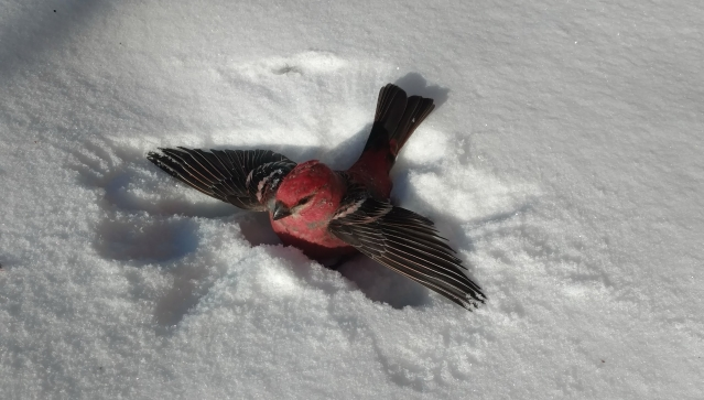 Male pine grosbeak, wings spread out in the snow, after hitting the window.