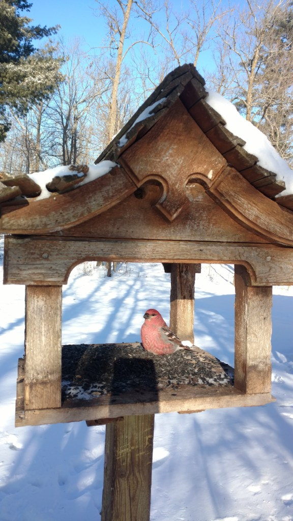 Recovering male pine grosbeak placed in the fly-through bird feeder.