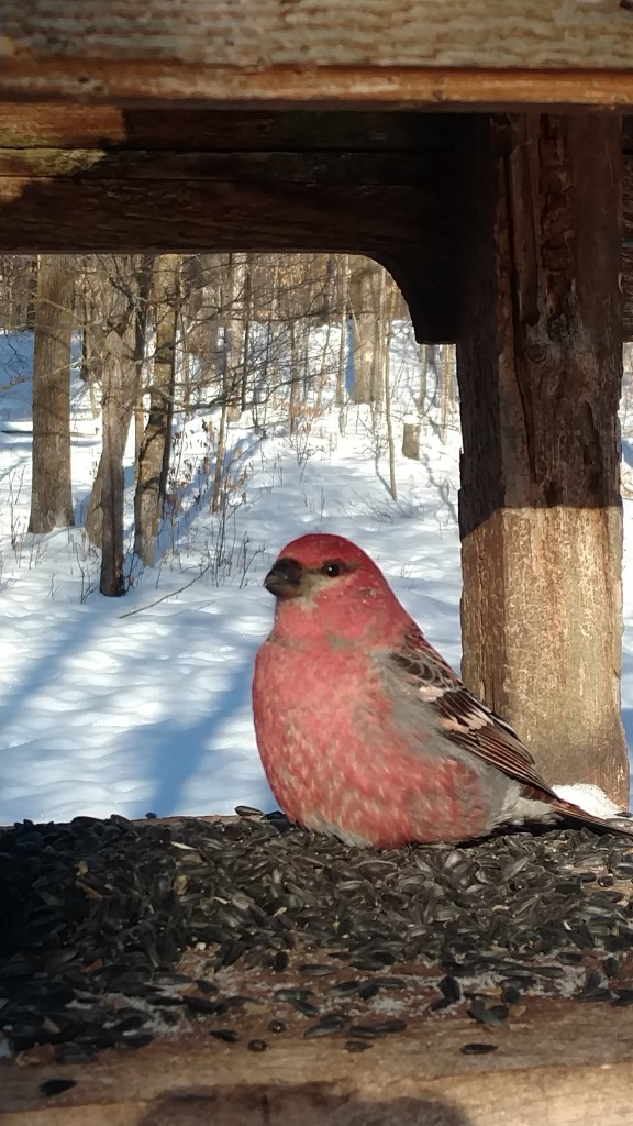 Close-up of male pine grosbeak sitting in the fly-through feeder of black oil sunflower seeds. Winter woods scene behind.