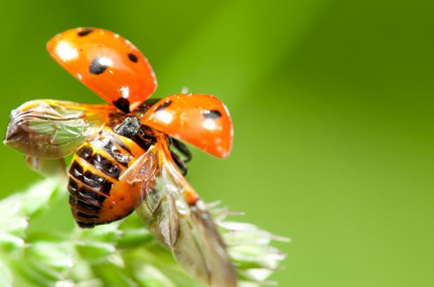 ladybug wings