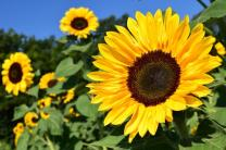 sunflower-1627193_1920