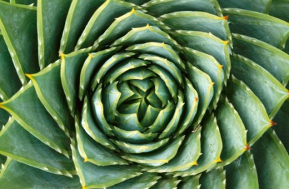 Aloe (Aloe polyphylla)