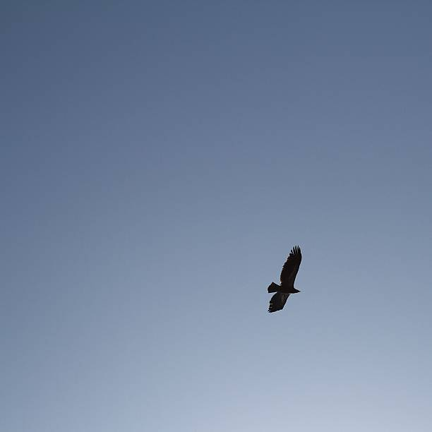 Silhouetted hawk flying high in clear blue sky.