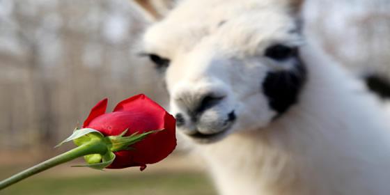 llama rose.jpg