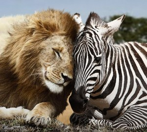 lion and zebra