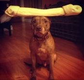 dog balancing large rawhide on head