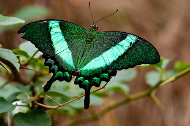 emerald swallowtail butterfly sitting on a leafy brancy