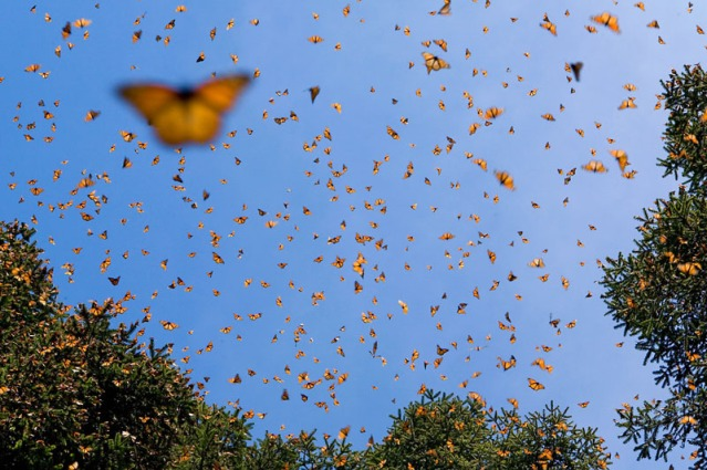 monarch butterfly migration. The clear blue sky is filled with butterflies, treetops are at the edges of the bottom and right side of the view, one butterfly is in the foreground while clouds of them are in the sky and trees.