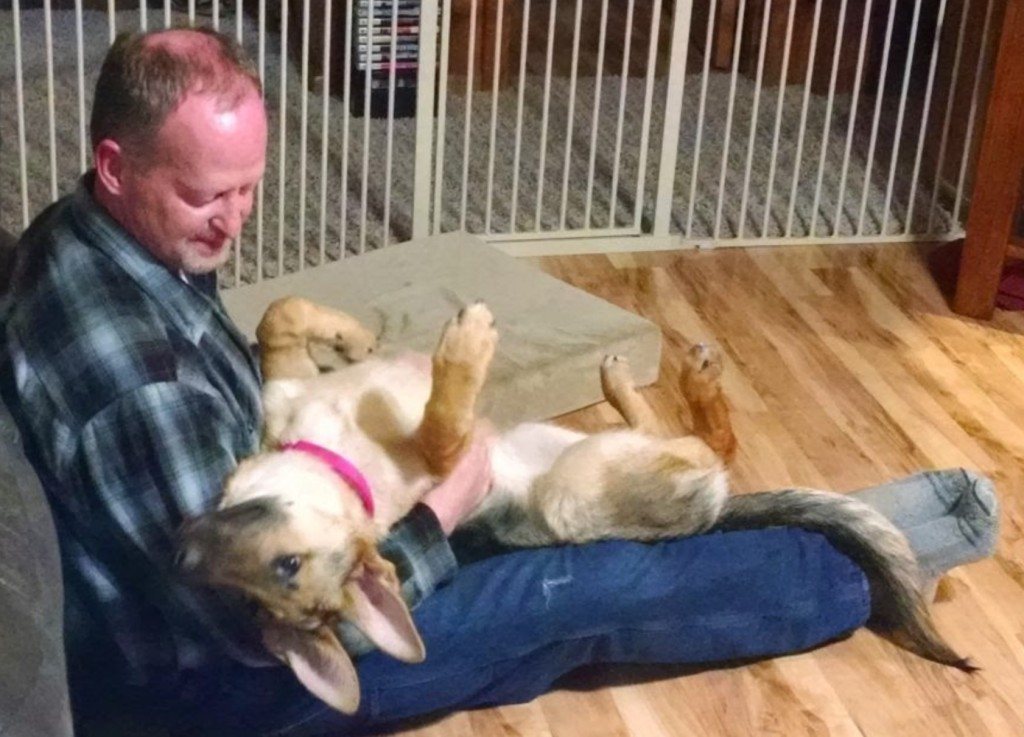 man sitting on floor with young German Shepherd happily upside down in his lap