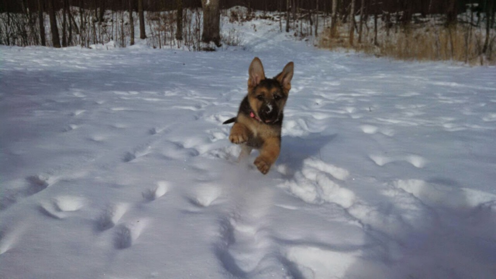 German Shepherd puppy joyously running in the snow at the camera