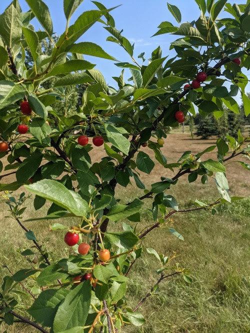 One of Heidi's fruit trees